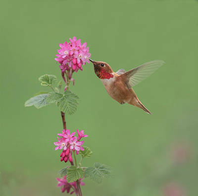 Rufous Hummingbird Enjoying Sweet Nectar Art Print