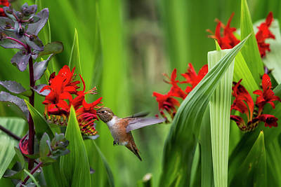 Photograph - Rufous Hummingbird Feeding, No. 3 by Belinda Greb