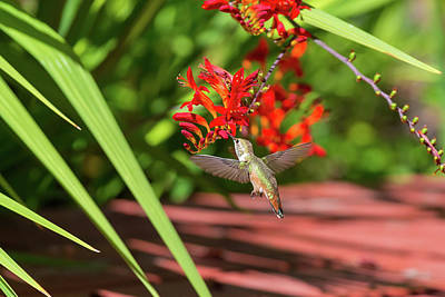 Photograph - Rufous Hummingbird Feeding On Flower Nectar by David Gn