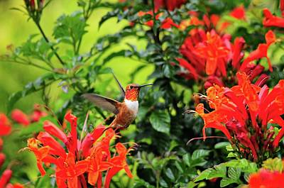 Photograph - Rufous Hummingbird In Cape Honeysuckle 2 by Lynn Bauer