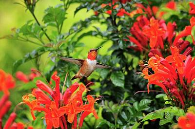 Photograph - Rufous Hummingbird In Cape Honeysuckle by Lynn Bauer