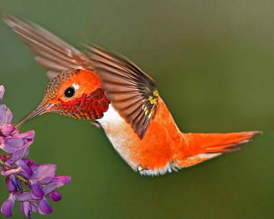 Photograph - Rufous Hummingbird by Jack Moskovita
