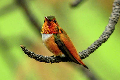 Photograph - Rufous Hummingbird On Branch by Marilyn Burton