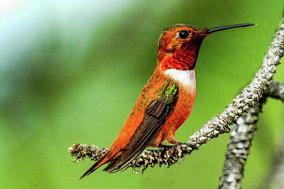 Photograph - Rufous Hummingbird On Pine Tree by Marilyn Burton