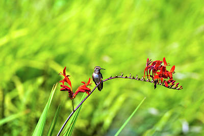Wall Art - Photograph - Rufous Hummingbird Perched On Flower Stalk by David Gn