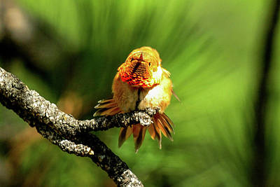 Photograph - Rufous Hummingbird Shaking Feathers by Marilyn Burton