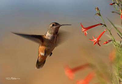 Photograph - Rufous Hummingbird by Tim Fitzharris