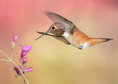 Photograph - Rufous Hummingbird With Penstemon by James Capo
