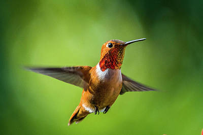 Photograph - Rufous by Jerry Cahill
