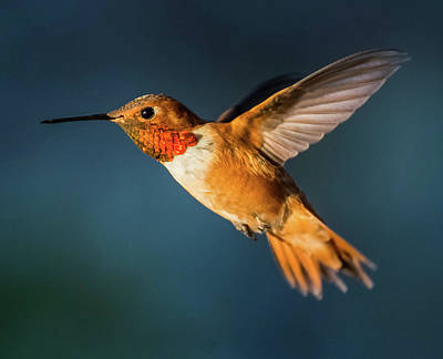 Photograph - Rufous by Martina Thompson
