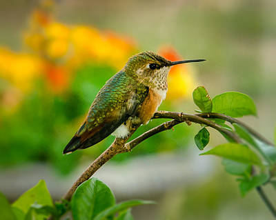 Photograph - Rufous Hummingbird On Guard For Intruders by John Brink
