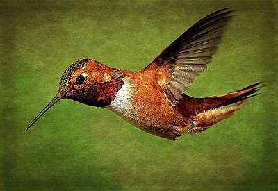 Photograph - Rufous Portrait by Sheldon Bilsker