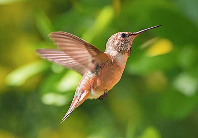 Photograph - Rufous Sparkling In The Sun by Loree Johnson