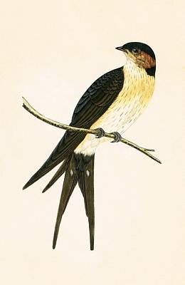 Swallow Painting - Rufous Swallow by English School