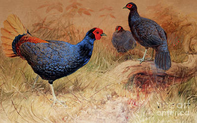 Rufous Painting - Rufous Tailed Crested Pheasant by Joseph Wolf