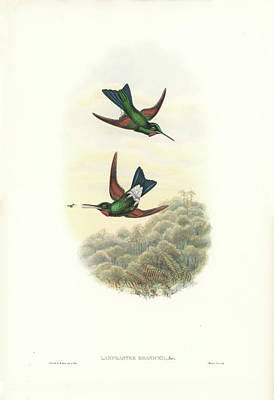 Painting - Rufous-webbed Brilliant Hummingbird Heliodoxa Branickii by John and Elizabeth Gould