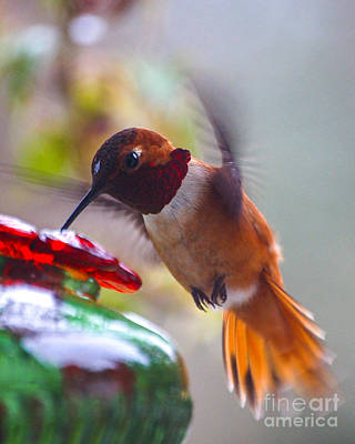 Photograph - Rufus Hummingbird At The Feeder by Chuck Flewelling