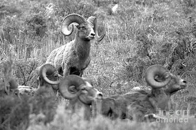 Photograph - Ruler Of The Flock Black And White by Adam Jewell