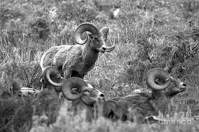 Photograph - Ruler Of The Yellowstone Bighorn Brawlers Black And White by Adam Jewell