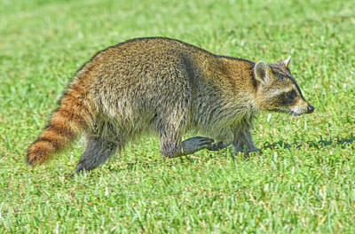 Photograph - Run Raccoon Run by William Tasker