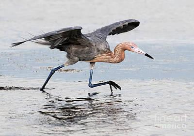 Photograph - Run Red Egret Run by Art Cole