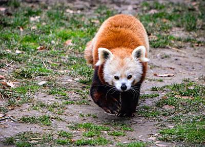 Photograph - Run, Red Panda, Run by Chandler Walker