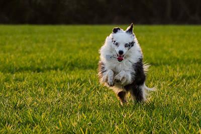Photograph - Running Australian Shepherd by Daniel Precht
