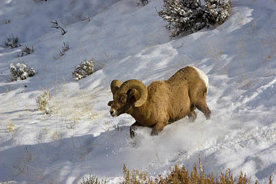 Photograph - Running Bighorn Ram In Snow by Mark Miller