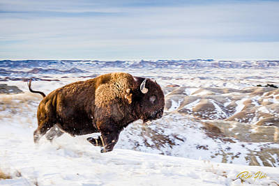 Photograph - Running Bison In Winter by Rikk Flohr