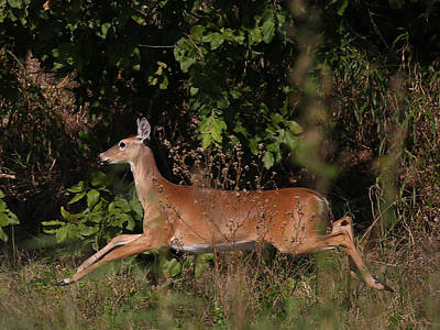 Animal Photograph - Running Deer by Dart and Suze Humeston