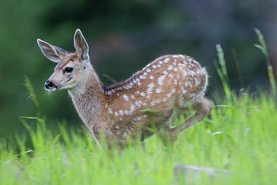 Photograph - Stotting Fawn by Mark Miller