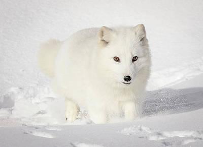 Photograph - Running Snow Baby Arctic White Fox by Athena Mckinzie