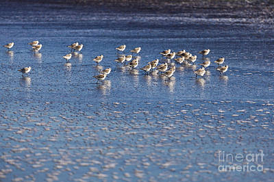 Photograph - Snowy Plovers Race Along The Shore by Sharon Foelz