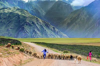 Running The Sheep Art Print by David Meznarich