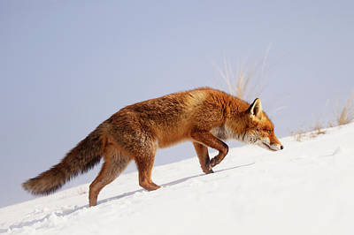 Winter Scenes Photograph - Running Up That Hill -red Fox In The Snow by Roeselien Raimond