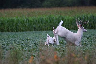 Photograph - Running White Bucks by Brook Burling