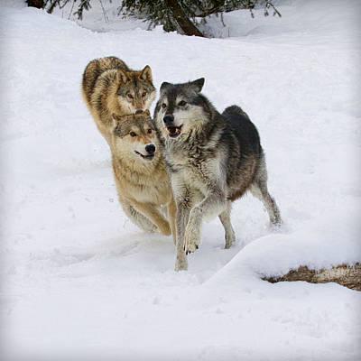 Photograph - Running Wolves by Steve McKinzie