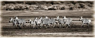Running Zebras, Serengeti National Art Print