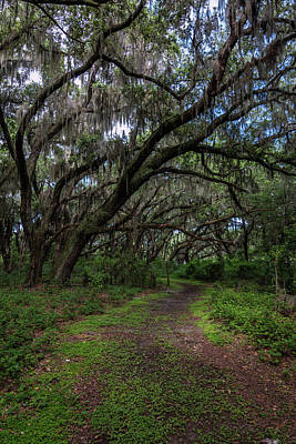 Photograph - Runnymede Live Oaks by Robin Blaylock