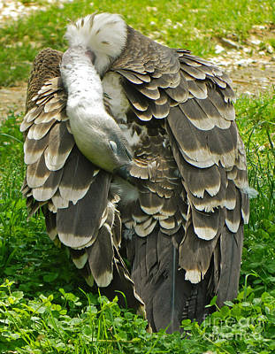 Griffon Digital Art - Ruppell's Griffon Vulture - Feather Dusting by Emmy Vickers