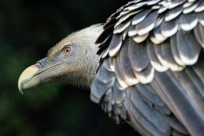 Photograph - Ruppell's Griffon Vulture by Nadia Sanowar