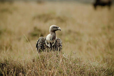 Photograph - Ruppells Griffon Vulture by Ramabhadran Thirupattur