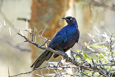 Starlings Digital Art - Ruppels Glossy Starling by Pravine Chester