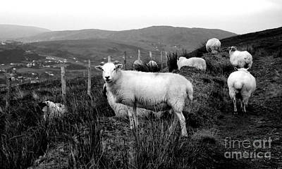Photograph - Rural Ireland Sheep by Lexa Harpell