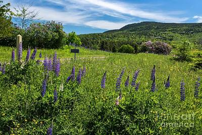 Photograph - Rural Lupine by Karin Pinkham