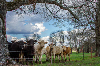 Photograph - Rural Scene With Cows by Menachem Ganon