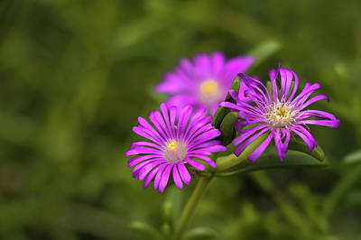 Photograph - Ruschia Costata - Aizoaceae by Cristina Stefan