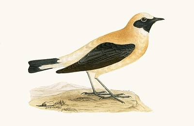 Flycatcher Drawing - Russet Wheatear by English School