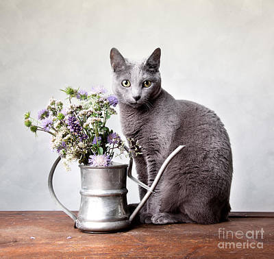Elegant Cat Photograph - Russian Blue 02 by Nailia Schwarz