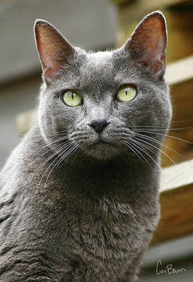 Cleo Photograph - Russian Blue by Cara Bevan